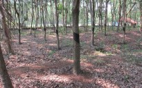 2.5 Acre Rubber Land Sale at Parippally Ezhippuram